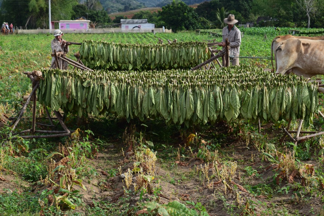 tobacco farm vinales valley