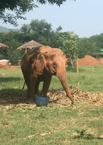 what it's like to volunteer at elephant nature park