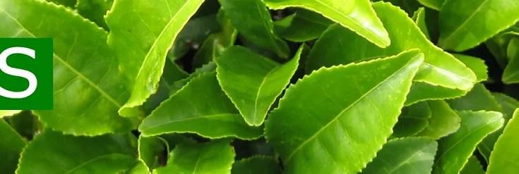 Liquore al Tè Verde Fatto in Casa Ricetta