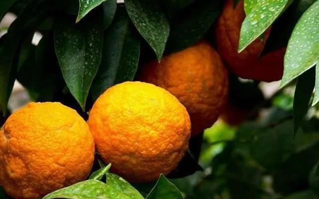 Arancia sotto Grappa Ricetta e Preparazione