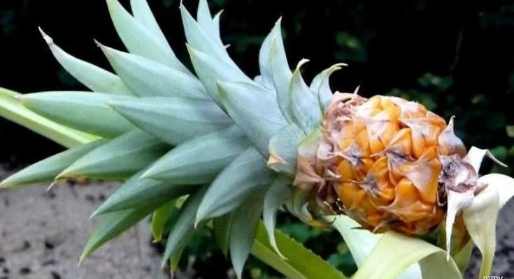 Grappa all'Ananas Ricetta e Ingredienti