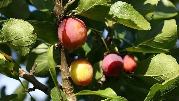 Liquore ai Frutti di Susine Ricetta