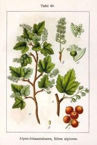 Grappa Aromatica al Ribes Ricetta