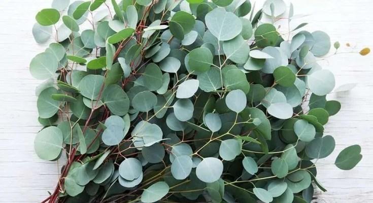 ricetta grappa con eucalipto