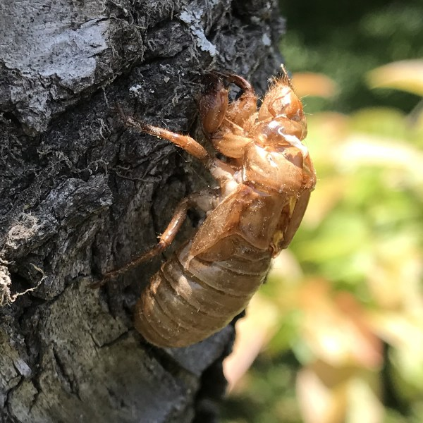 Cicada Exoskeleton See the front claws they use to dig to the surface?