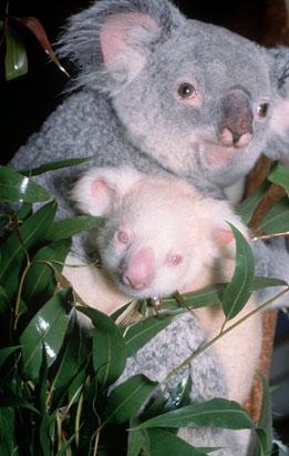 Este coala albino é o único em cativeiro.
