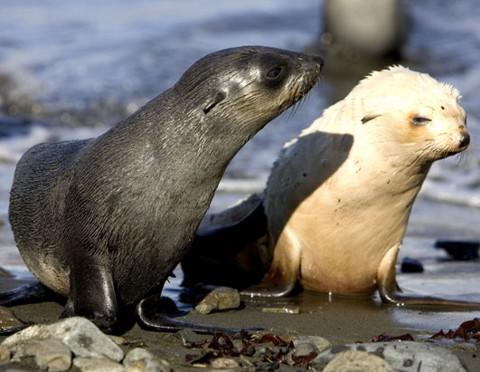 Uma rara foca peluda albina da Antarctica.