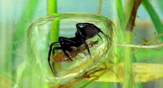 Aranha-da-agua