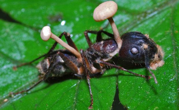 22-zombie-ant-fungus[1]