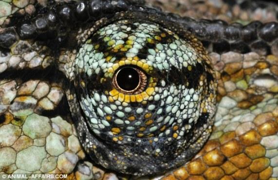 Os 3 milímetros dos olhos do camaleão africano giram de forma independente, permitindo-lhes olhar para trás e para frente, ao mesmo tempo.