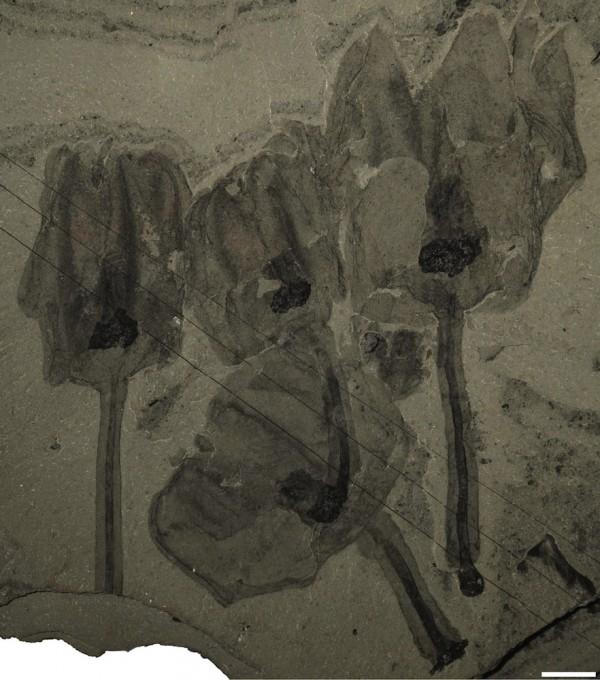 tulip-fossils-120118-e1327583088889[1]