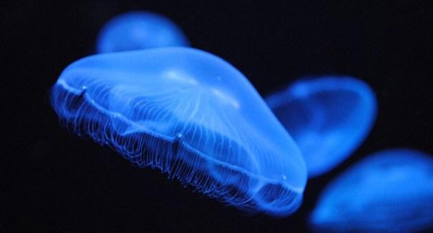 7-fatos-curiosos-sobre-as-aguas-vivas-5-animal-planet[1]