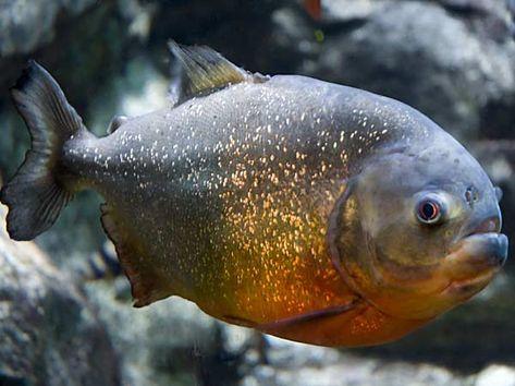 Carne-piranha-sido-consumida-ribeirinhos_ACRIMA20120208_0089_15[1]