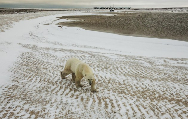 Polar-Bear-with-lodge-in-the-background[1]