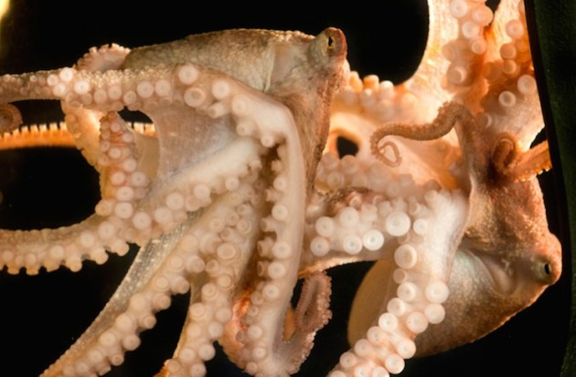 9-tentacled-red-octopus[1]