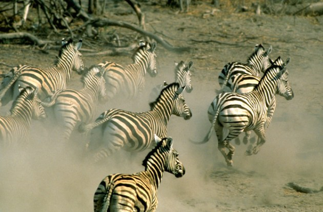 Herd of Burchell's zebras (Equus burchelli)