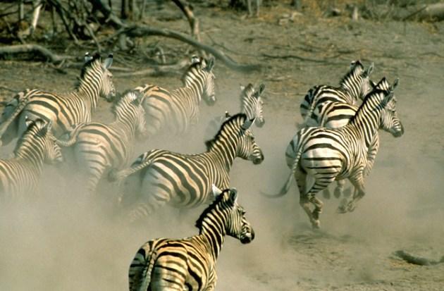 Herd of Burchell's zebras (Equus burchelli)