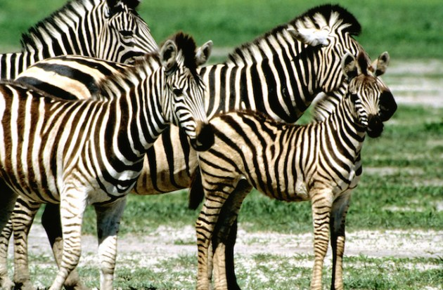 Group of Burchell's zebra (Equus burchelli) with a baby zebra