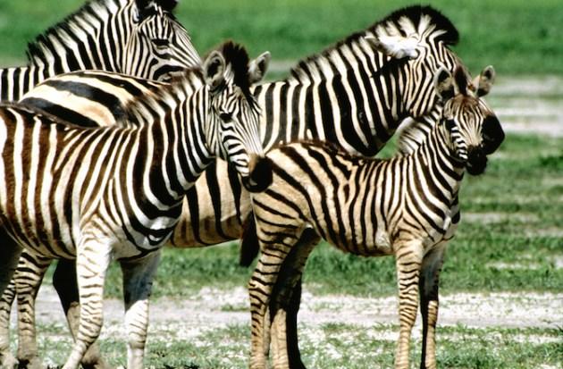 Group of Burchell's zebra (Equus burchelli) with a baby zebra