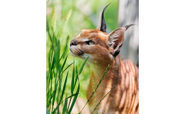 caracal-tambako-the-jaguar-creative-commons[1]