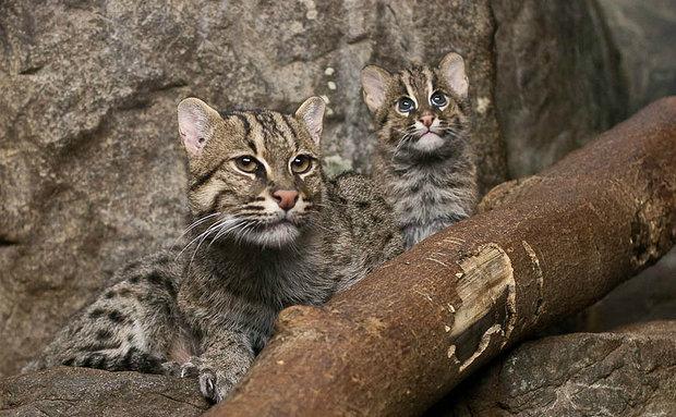 fishing-cat-hubert-k-creative-commons[1]
