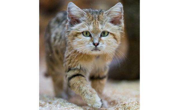 sand-cat-tambako-the-jaguar-cretive-commons[1]