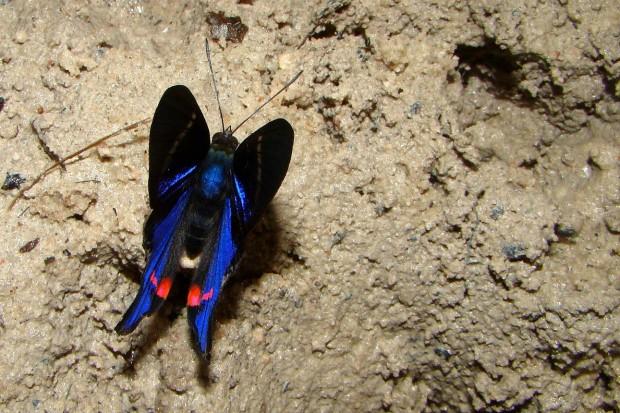 Machos precisam de sais minerais para produção de esperma. Essa borboleta do gênero Rhetus está procurando por eles em um saleiro na Amazônia