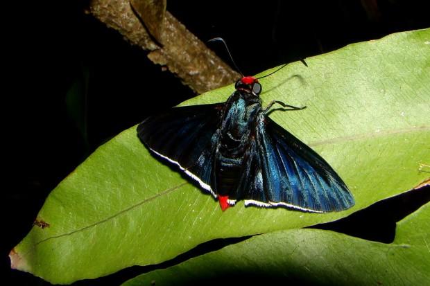 As borboletas do gênero Pyrrhopyge podem seguir grupos de pássaros para se alimentarem das fezes das aves