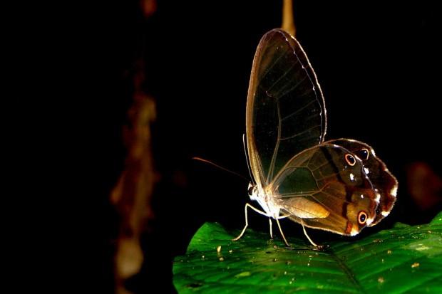 Algumas borboletas, como essa do gênero Haetera, perderam as escamas das asas. Ser transparente significa estar camuflada em qualquer tipo de ambiente
