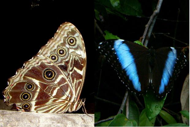 Em repouso as borboletas do gênero Morpho ficam com as asas fechadas. O padrão discreto as deixam camufladas quando estão pousadas em meio às folhas secas do chão da floresta (esquerda). Quando elas abrem as asas (direita), expõem escamas iridescentes que confundem os predadores