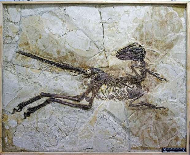 O fóssil do primo do  Velociraptor, encontrado na China.