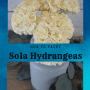 how to paint sola wood hydrangeas