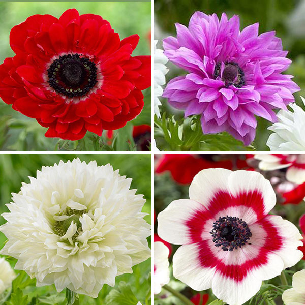Anemones roses hd images