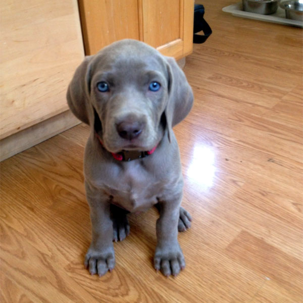 Curious Weim young pup