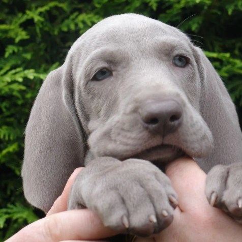 Curious Weims - Beautifully Bred AKC Weimaraner Puppies