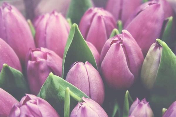 amsterdam_tulips