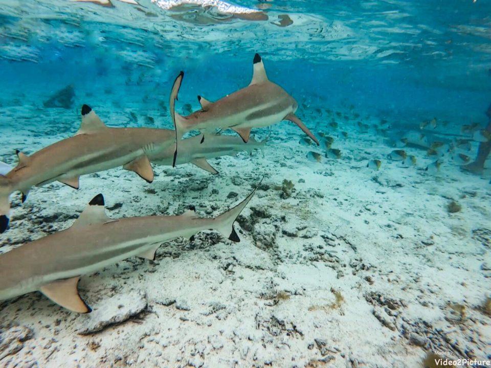 Requins Bora-Bora