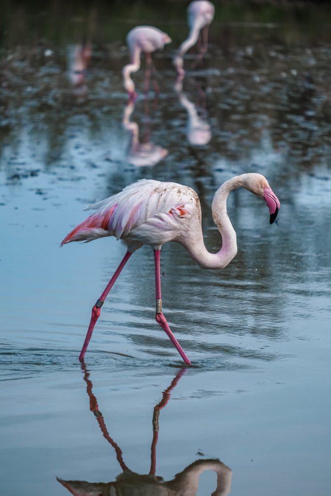 Flamants Rose - Parc ornithologique - Camargue - curlwildfree - edit-3-min