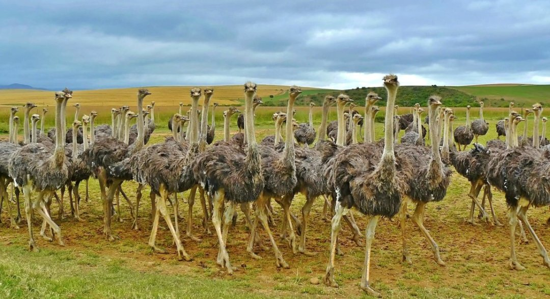 How to Start Ostrich Farming in Nigeria with Small Capital