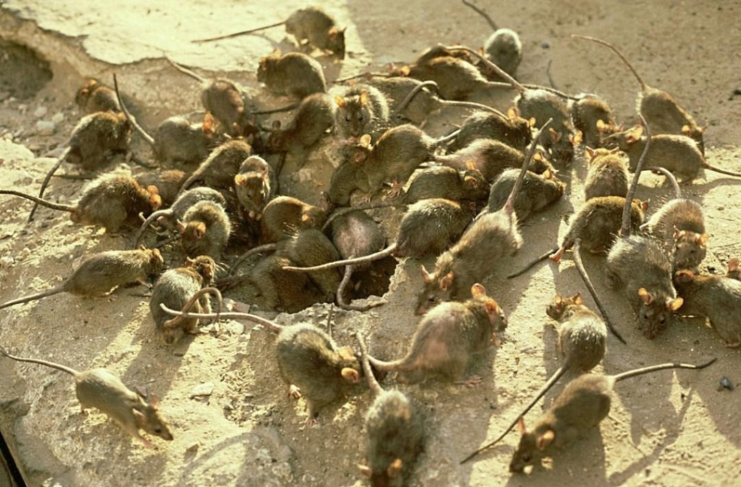 Признаки крыс в стенах