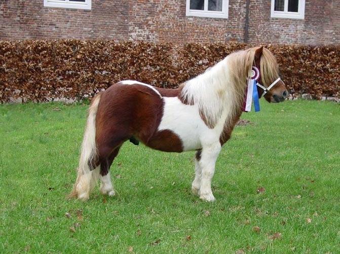 razas de caballos poni gales