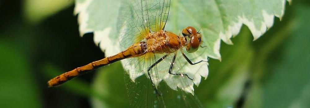 dragonfly in minnesota