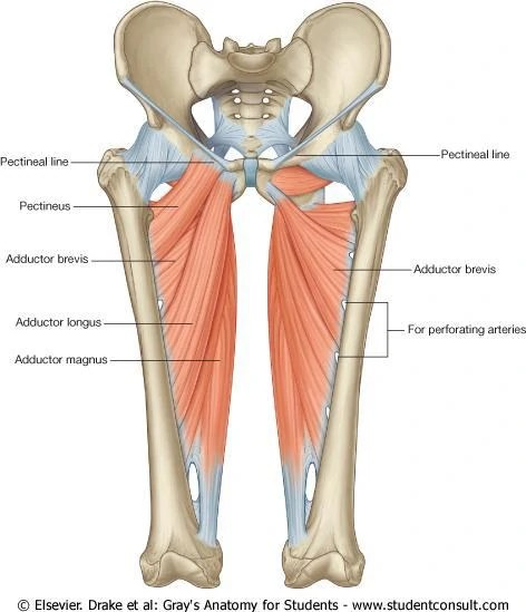 Adductors:  Learn Your Muscles