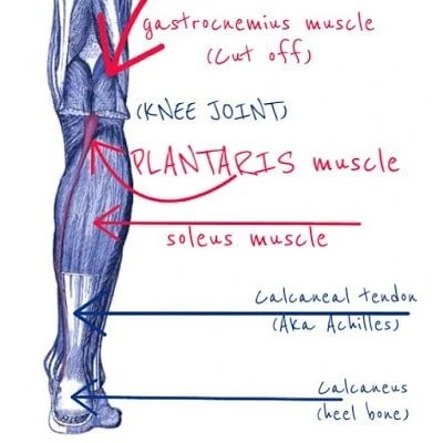 Plantaris:  Learn Your Muscles