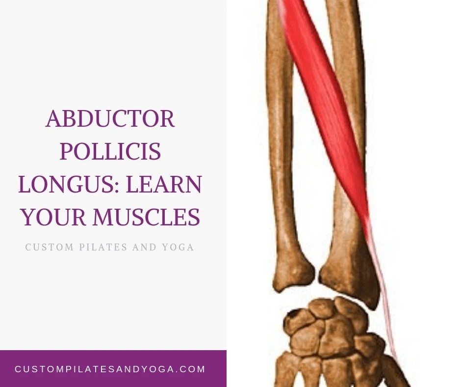 Abductor Pollicis Longus Learn Your Muscles Custom