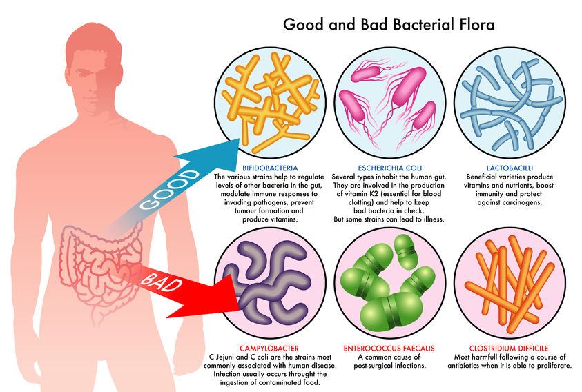 diagram of probiotics in the body