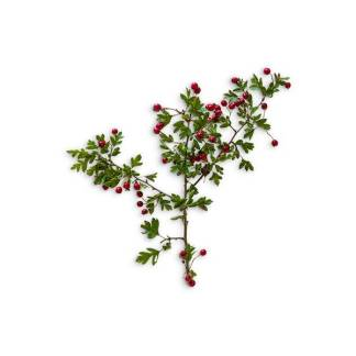 item-cover-hawthorn-with-leaves-and-berries-3