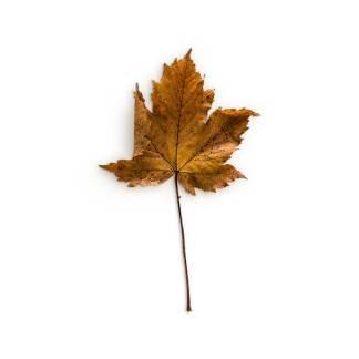 item-cover-maple-1-leaf-3