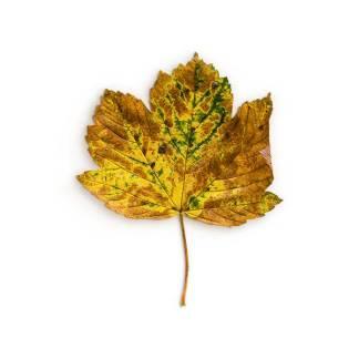 item-cover-maple-2-leaf-2