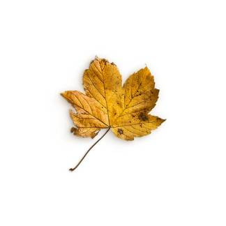 item-cover-maple-2-leaf-3